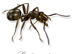 Mravenec obecny