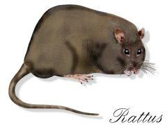 Potkani